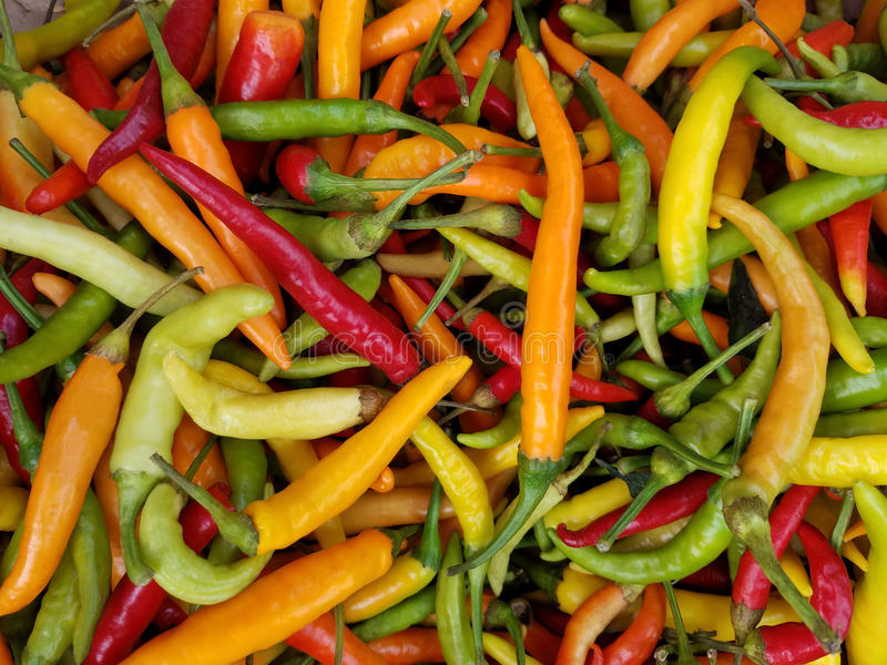 Colorful Chili Peppers. Chili peppers are available throughout the year to add zest to flavorful dishes. This is the plant that puts fire on your tongue and royalty free stock photography
