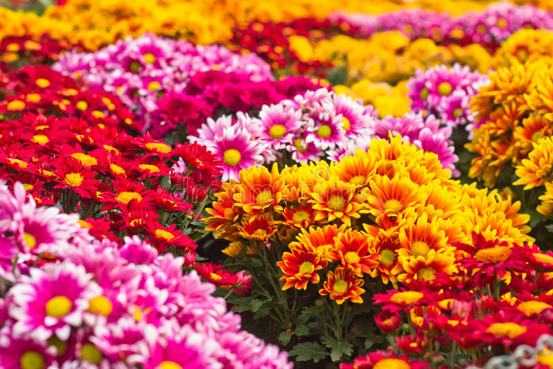 Colorful Chrysanthemum Stock Photography