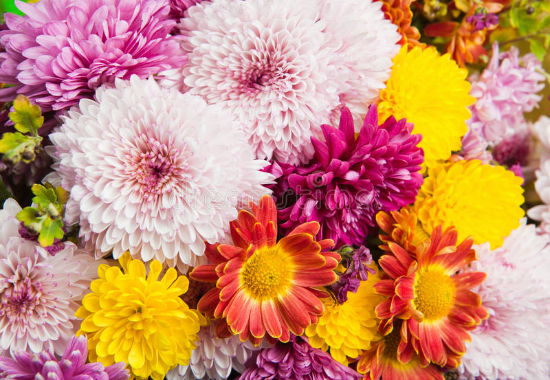 Colorful chrysanthemum and daisy flowers