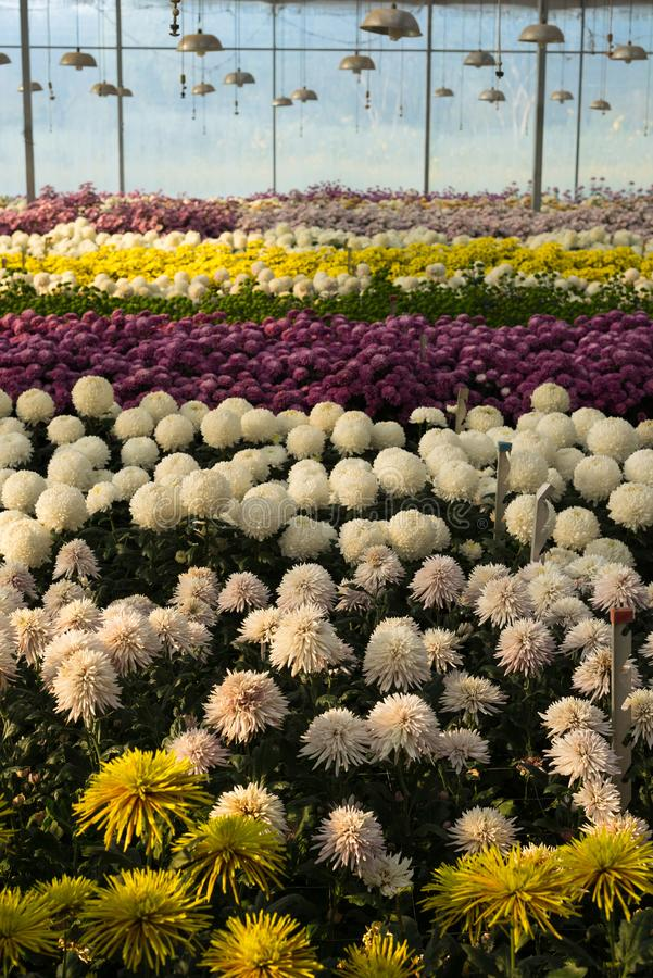 Colorful chrysanthemum flowers in glasshouse. Daylight royalty free stock photography