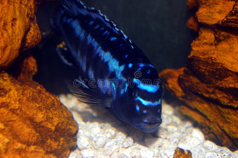Download Colorful Cichlids stock photo. Image of fish, life, tropical - 11635056