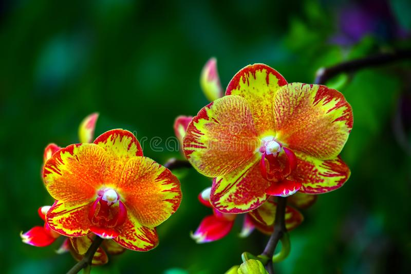 Pair of red and orange color orchids in garden stock photography