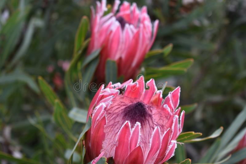 Colorful two pink King Proteas in the Botanical Garden in Cape Town in South Africa – the national flower of South Africa stock image