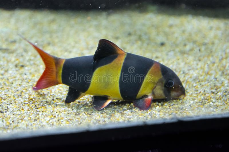 Colorful clown loach fish - botia macracanthus swimming in aquarium stock photos