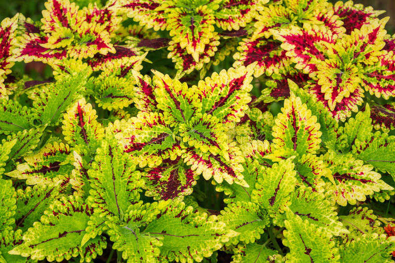 Colorful coleus leaf plant. Close up of colorful coleus leaves growth in flower garden stock photos