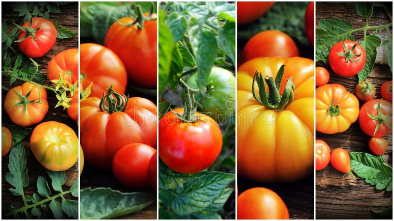 Colorful collage of ripe organic tomatoes. Healthy eating consept. Gardening background stock image