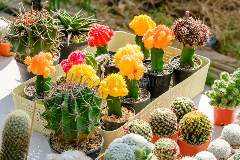 Colorful Cactus Collection. Colorful and and collection of small cactus in the house plant stock photography