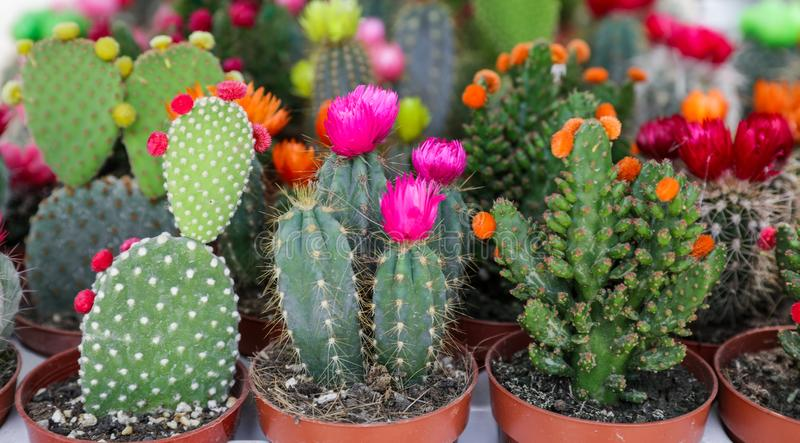 Colorful collection of small decorative cactuses flowering plants in pots. stock images