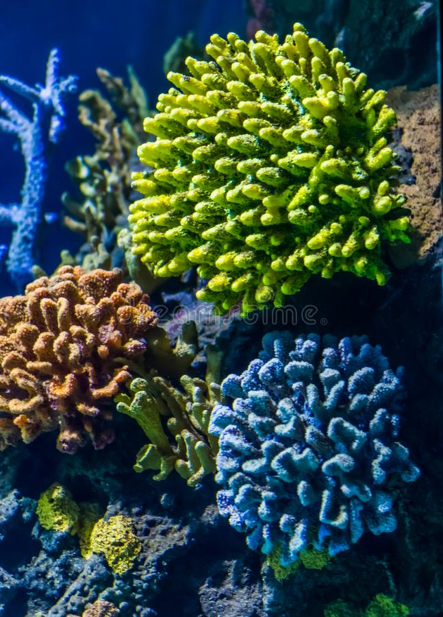 Colorful colony of stony corals, beautiful marine life background, popular and decorative water animals stock photos