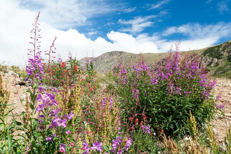 Colorful Colorado mountain landscape blooming wildflowers stock images