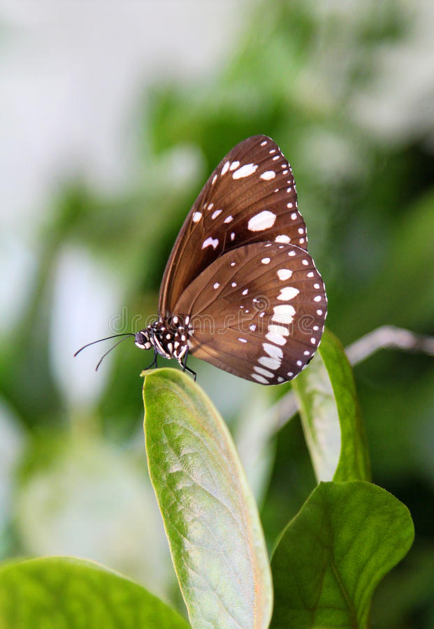 Download Butterfly stock image. Image of background, insect, crow - 30190363