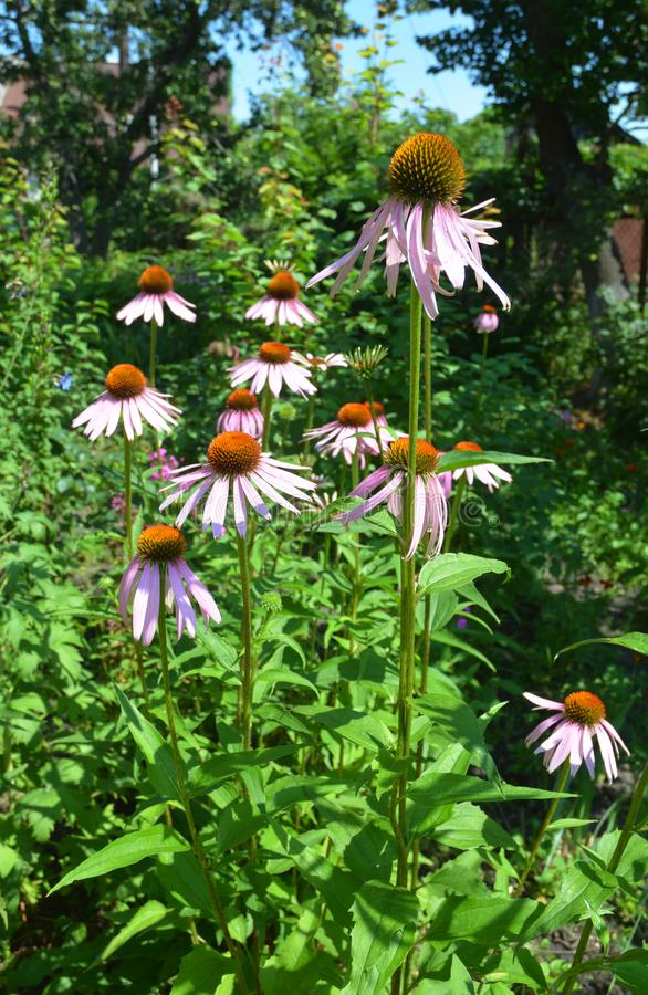Colorful coneflower or purple echinacea on summer bee-friendly flower bed. stock image