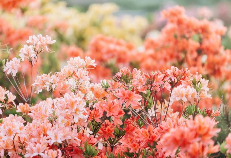 Colorful coral azalea flowers in garden. Blooming bushes of bright azalea at spring sunlight. Nature, spring flowers. Background royalty free stock photography