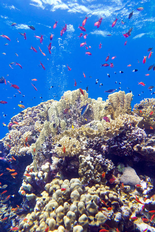 Colorful coral reef with exotic fishes anthias at the bottom of tropical sea. On blue water background stock image