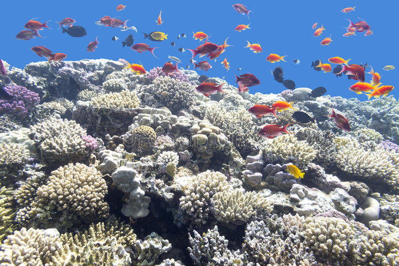 Colorful coral reef with exotic fishes in tropical sea, underwat. Colorful coral reef with exotic fishes at the bottom of tropical sea stock images