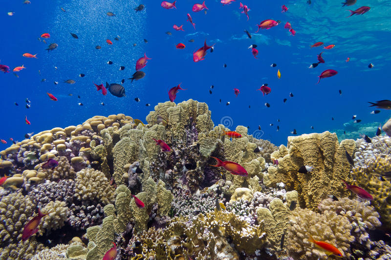 Colorful coral reef with fire corals and fishes anthias at the bottom of tropical sea on blue water background. Colorful coral reef with fire corals and fishes royalty free stock photo