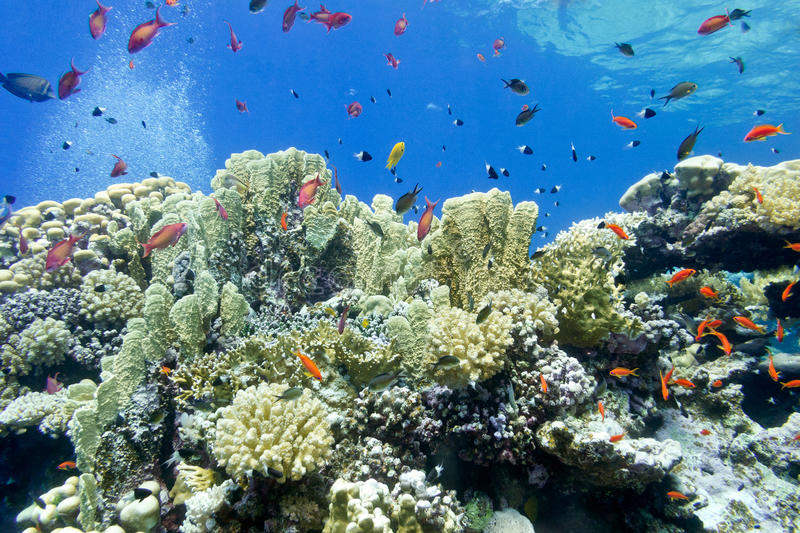 Colorful coral reef with fire corals and fishes anthias in tropical sea- underwater. Colorful coral reef with fire corals and fishes anthias at the bottom of royalty free stock images