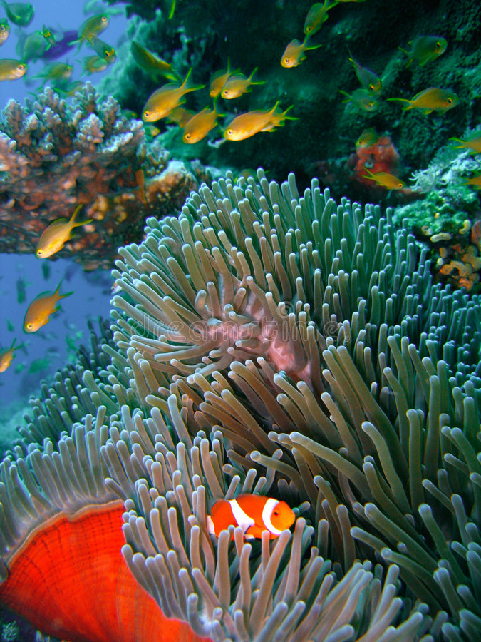 Free Colorful Coral Reef Fish Royalty Free Stock Image - 2676366