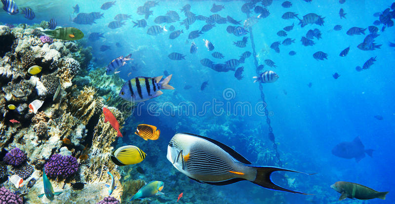Colorful coral reef fishes. Colorful coral reef fishes of the Red Sea royalty free stock photos
