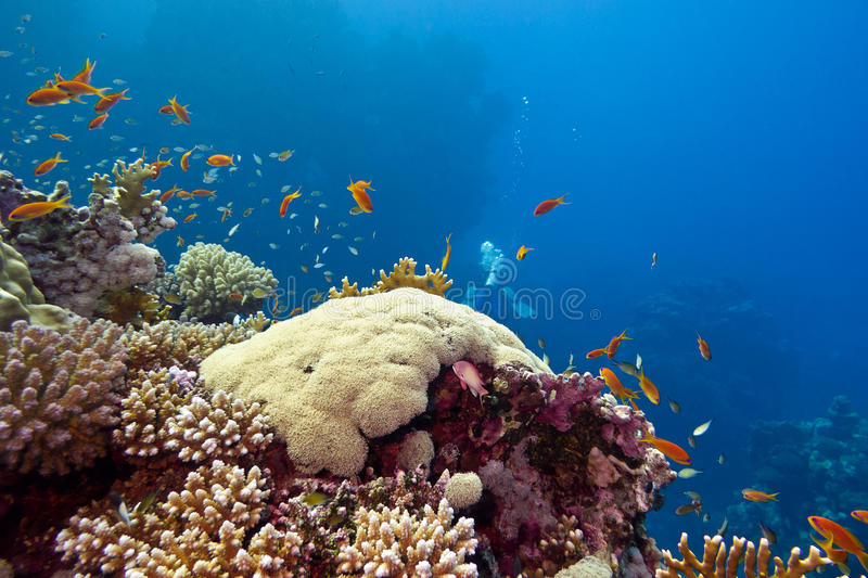 Colorful coral reef with hard corals and fishes anthias at the bottom of tropical sea. On blue water background royalty free stock photography