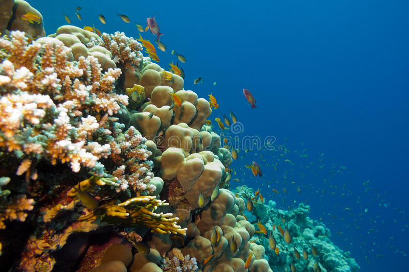 Colorful coral reef with hard corals and fishes anthias at the bottom of tropical sea on blue water background royalty free stock photography