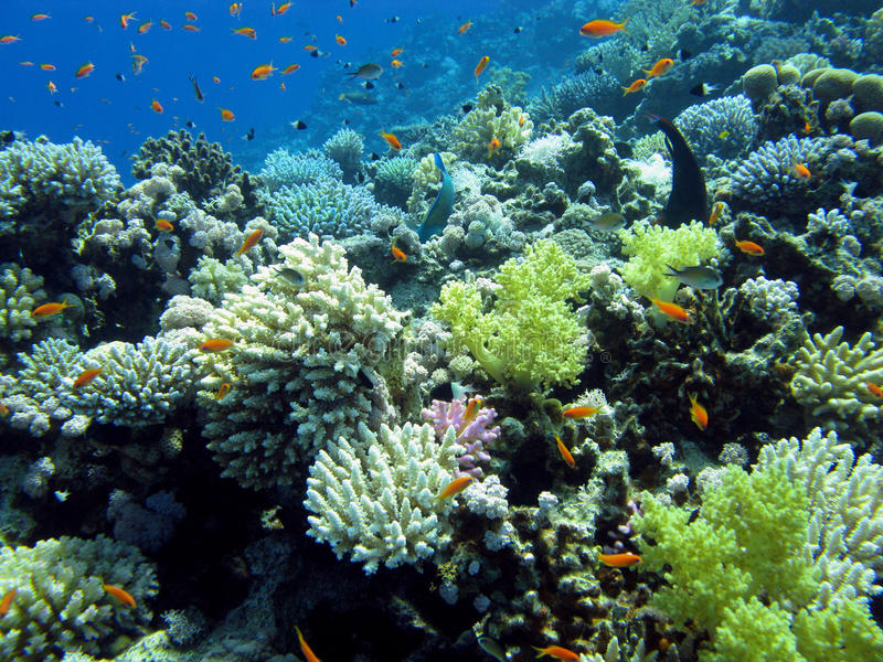 Colorful coral reef with hard and soft corals royalty free stock photography