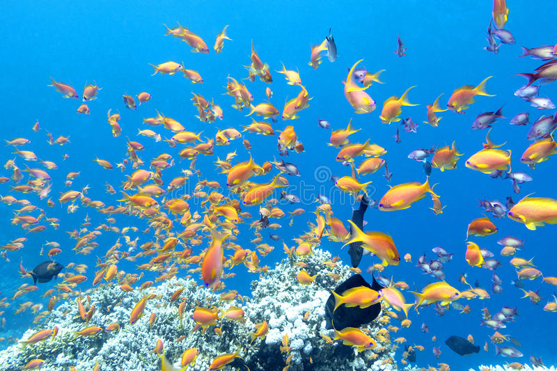 Colorful coral reef with shoal of fishes anthias in tropical sea, underwater royalty free stock photos