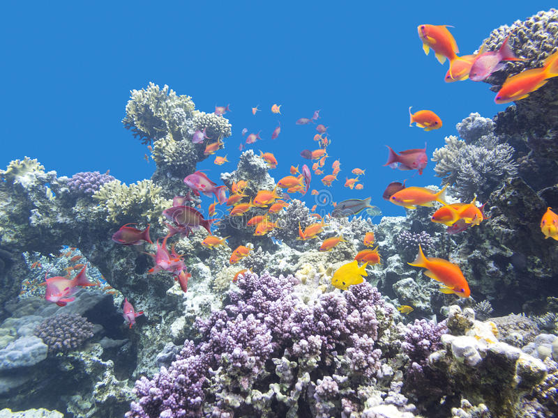 Colorful coral reef with shoal of fishes scalefin anthias in tropical sea. Colorful coral reef with shoal of fishes scalefin anthias at the bottom of tropical stock images