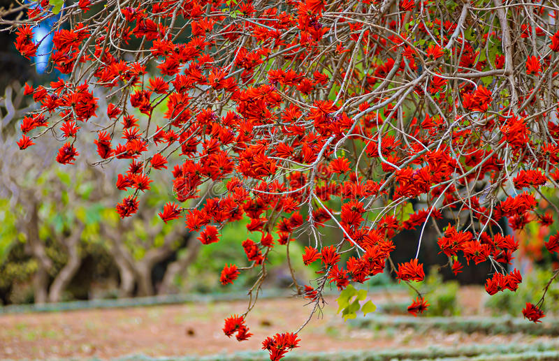 Colorful coral tree blossoms with bright red flowers in the park stock images