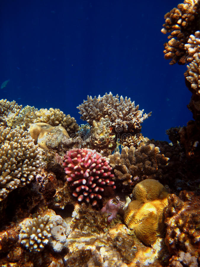 Free Colorful Corals In The Red Sea Royalty Free Stock Images - 52293739