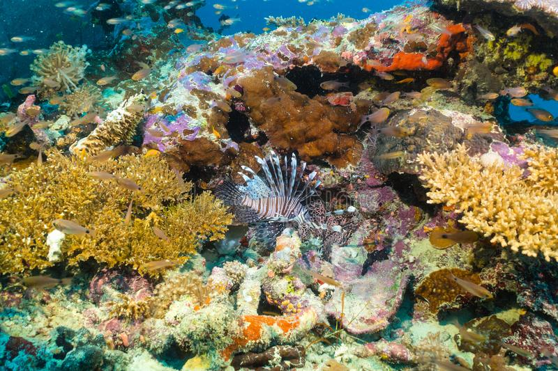 Colorful corals with lionfish in the Indian Ocean royalty free stock photos