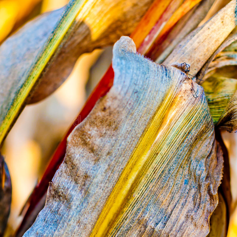 Colorful corn leaf closeup royalty free stock images