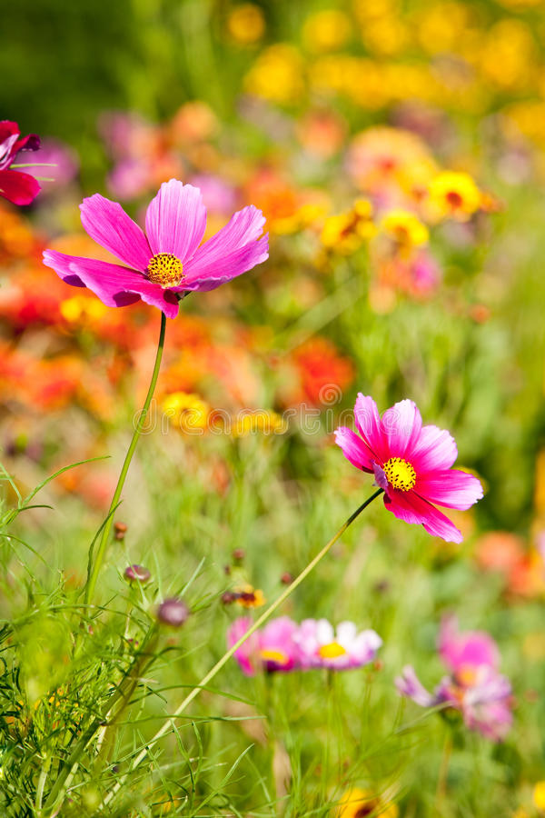Colorful Cosmos. stock photo