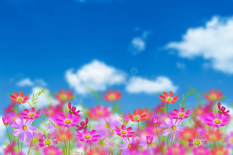 Colorful cosmos flowers on a background of summer landscape royalty free stock photos