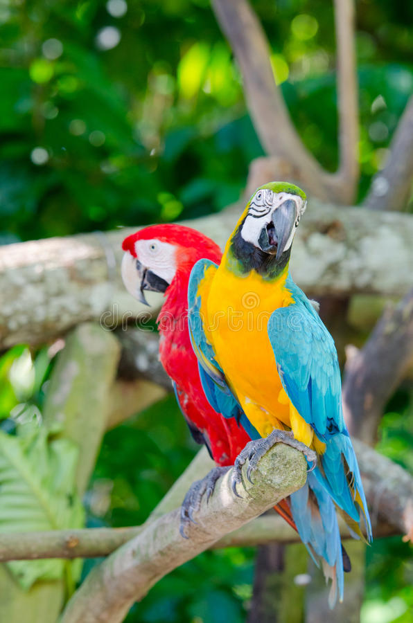 Colorful couple of macaws. Sitting on the branch royalty free stock photos
