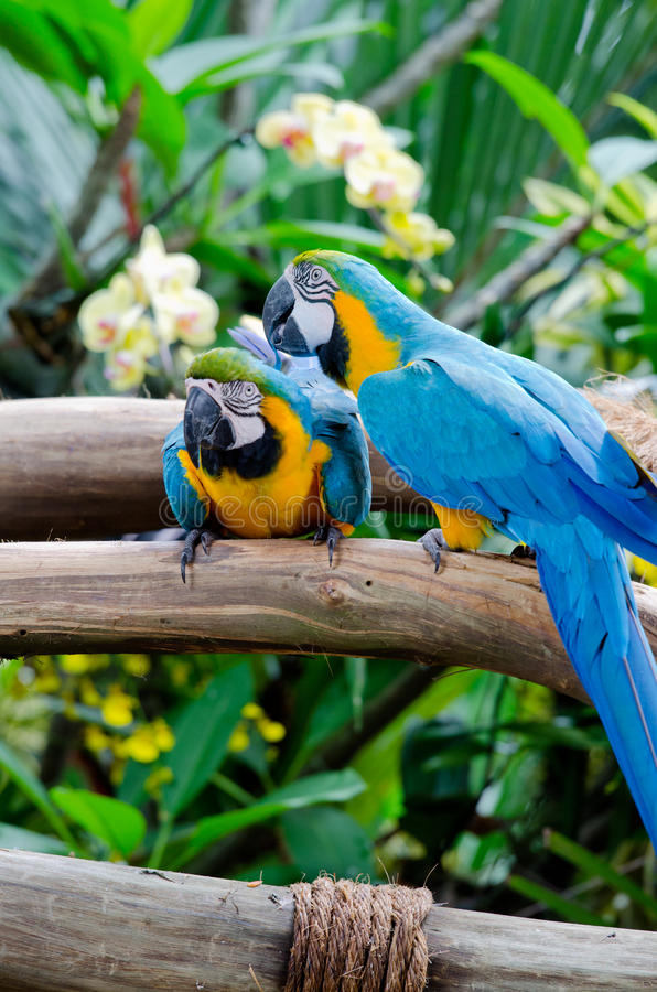 Colorful couple of macaws. Sitting on the branch royalty free stock images