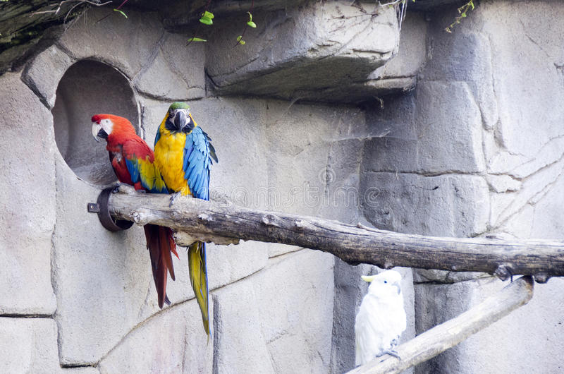 Colorful couple macaws parrots. On a branch stock photo