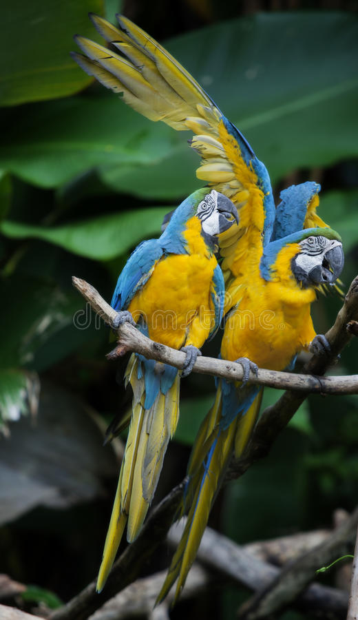 Colorful couple macaws. Sitting on log royalty free stock photo