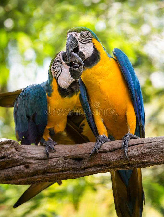Colorful couple macaws. Sitting on log stock image