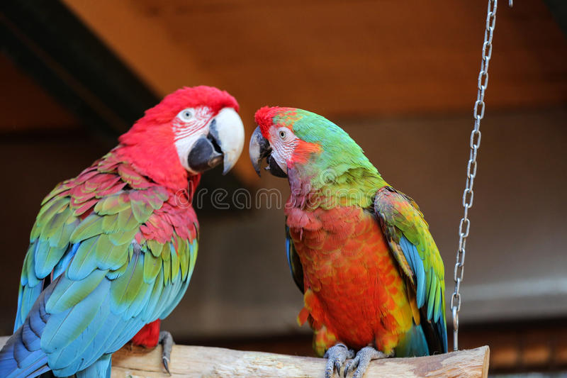 Colorful couple macaws sitting on log.  royalty free stock photography