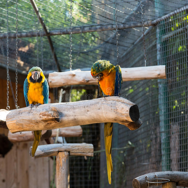 Colorful couple macaws. Sitting on log royalty free stock photos
