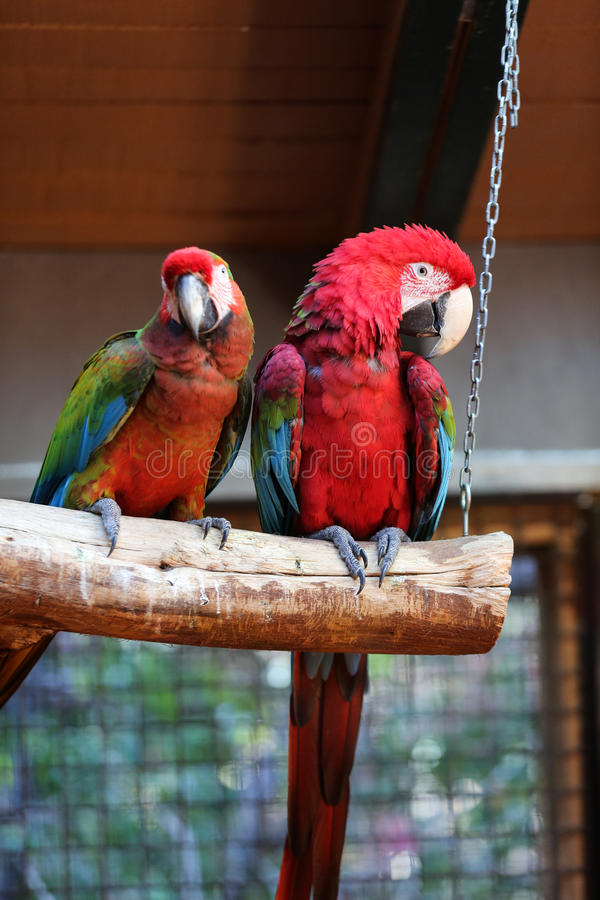 Colorful couple macaws. Sitting on log stock photography