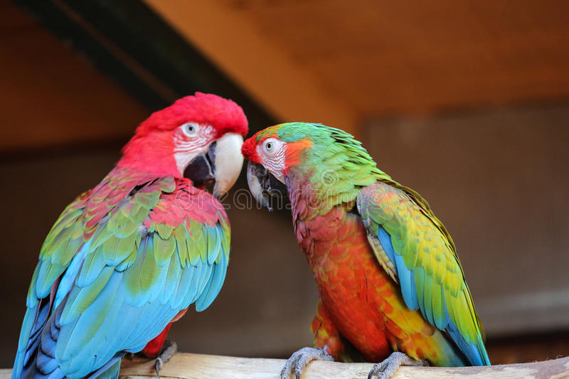 Colorful couple macaws. Sitting on log stock photos