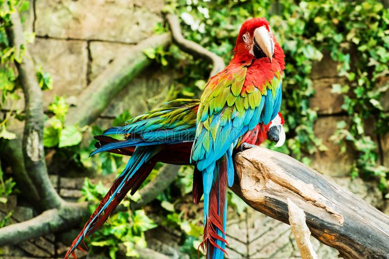 Colorful couple macaws sitting on log. Focus on the parrot stock photos