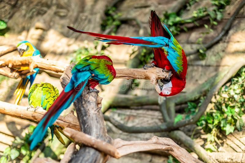 Colorful couple macaws sitting on log. Colorful couple macaws sitting on log upside down stock image