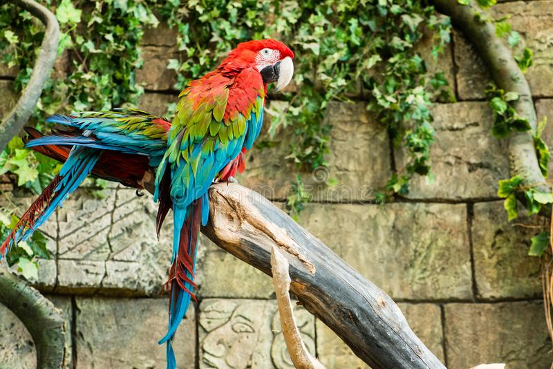 Colorful couple macaws sitting on log. Focus on the parrot stock images