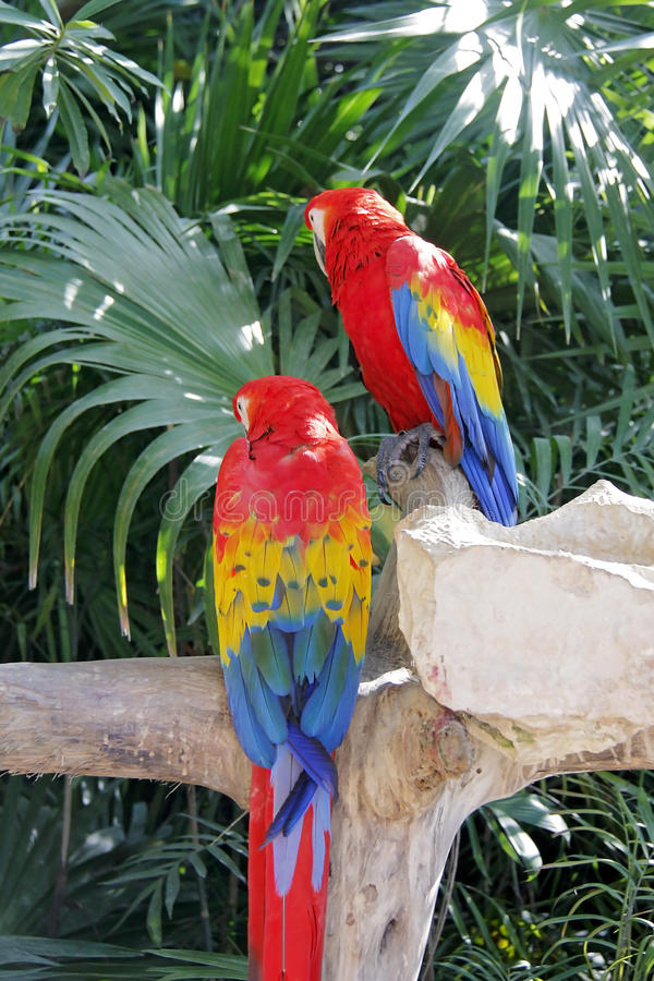 Colorful couple macaws sitting on log. In the forest stock image