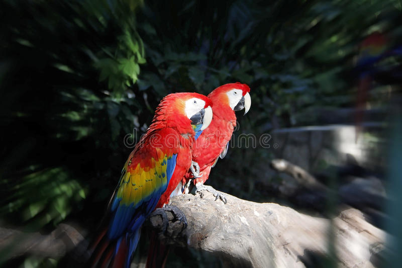 Colorful couple macaws sitting on log. In the forest, radial blur applied stock photo