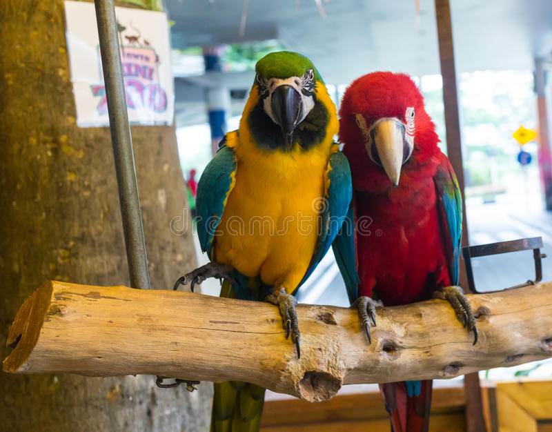 Colorful couple macaws sitting on log. In Malasia royalty free stock photography