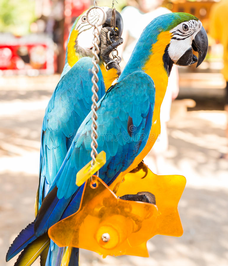 Colorful couple macaws sitting on swing. Colorful beautiful couple macaws sitting on log royalty free stock photo